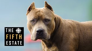 Pit Bulls Unleashed: Should They Be Banned?  The Fifth Estate