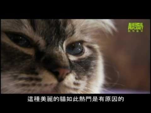 貓咪101---伯曼貓
