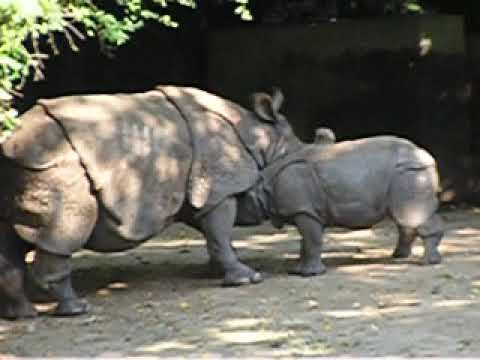 A baby of Indian rhinoceros