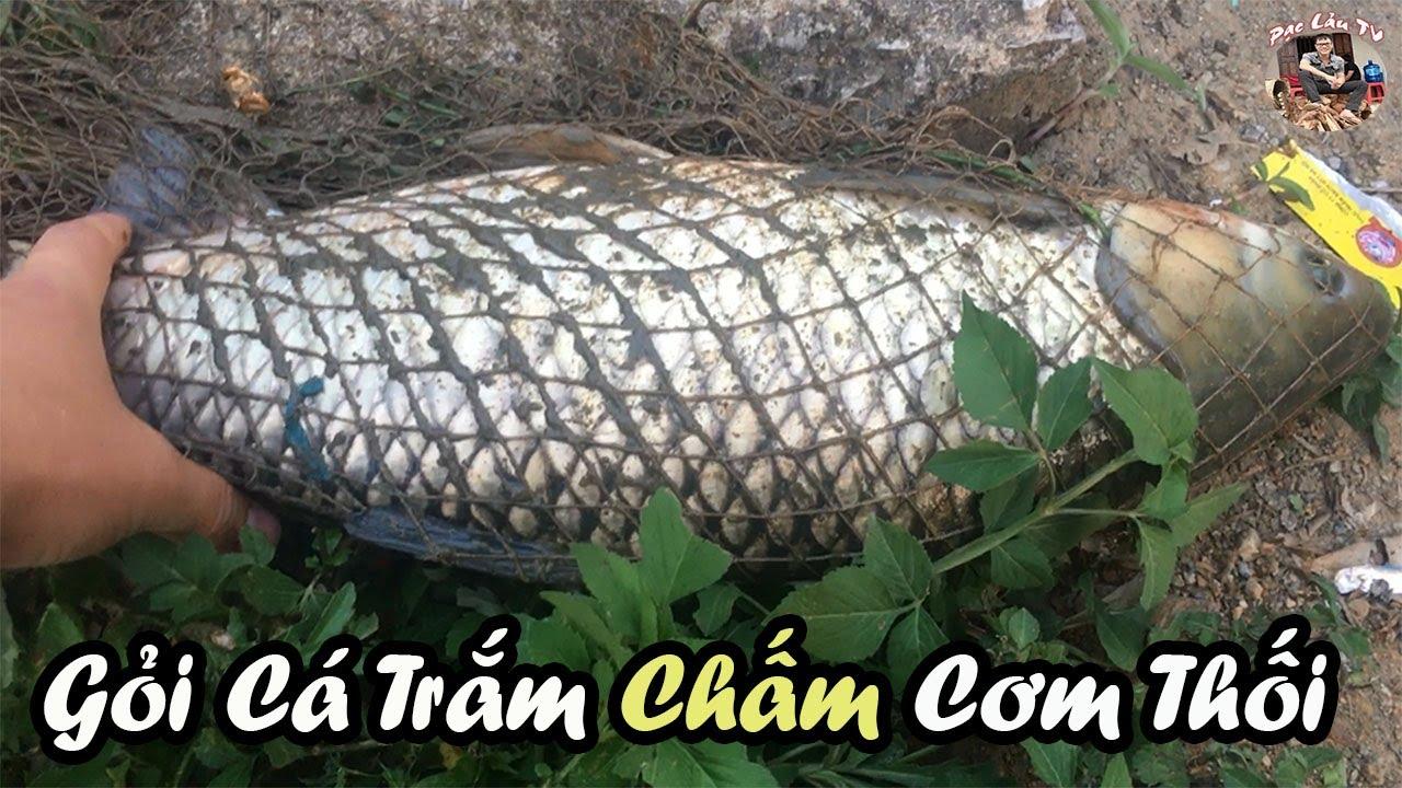 Gỏi Cá Trắm chấm Cơm Thối ( Mẻ Chua ) của Người Dân Tộc Tày ở Vùng Cao | Pạc Lảu TV