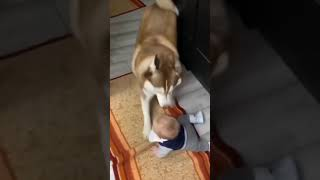 First Time My Husky Dog Attack Small Baby 🙏 Funny Dog Vedio 🥳 Family Dog Vedio 🤣 #short #shorts