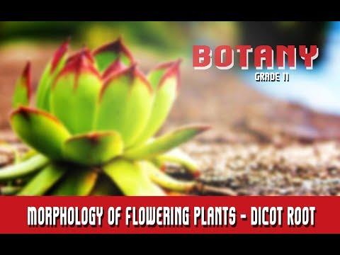 Botany Grade 11   Morphology Of Flowering Plants   Anatomy   Dicot Root   Section 9