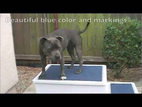 Ultimate Blue Staffordshire Bull Terrier Bitch