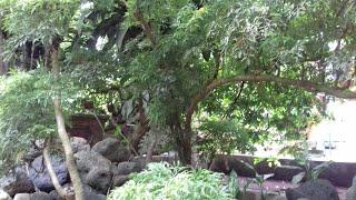 Cách trồng cây đinh lăng cho củ to.