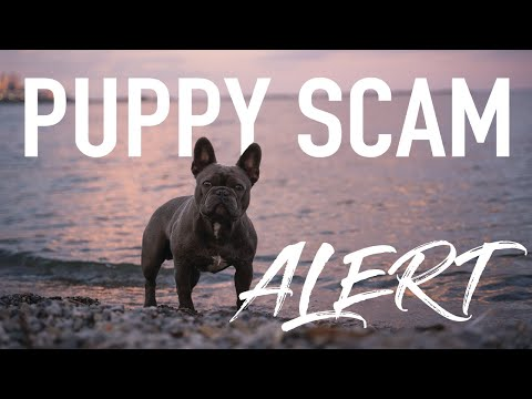 How To Avoid A Puppy Scam | French Bulldog Addition | Tips To Find A Good Breeder