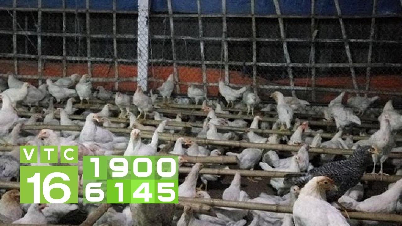 Làm gì khi thấy gà bị rối loạn thuốc? | VTC16