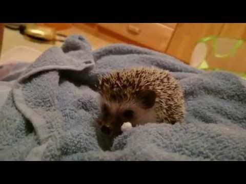 Spiky The Hedgehog - For the very first time @ home ;)