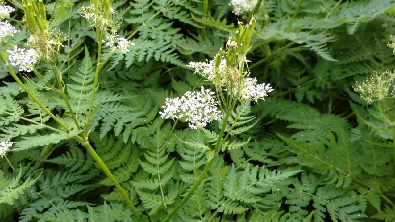 Sweet Cicely - Perennial Licorice Candy! - YouTube