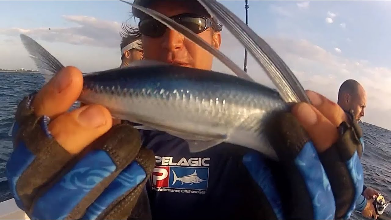 Flying fish eats pilchard while live bait fishing in the for Where do flying fish live
