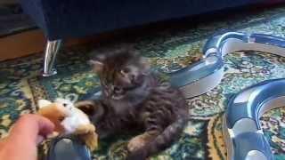 Сибирский котенок Алан1,5 мес.