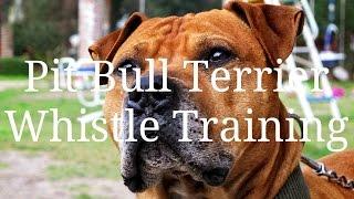 Pit Bull Terrier Whistle Training