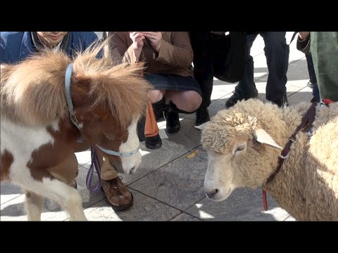 A sheep and a pony in central Tokyo