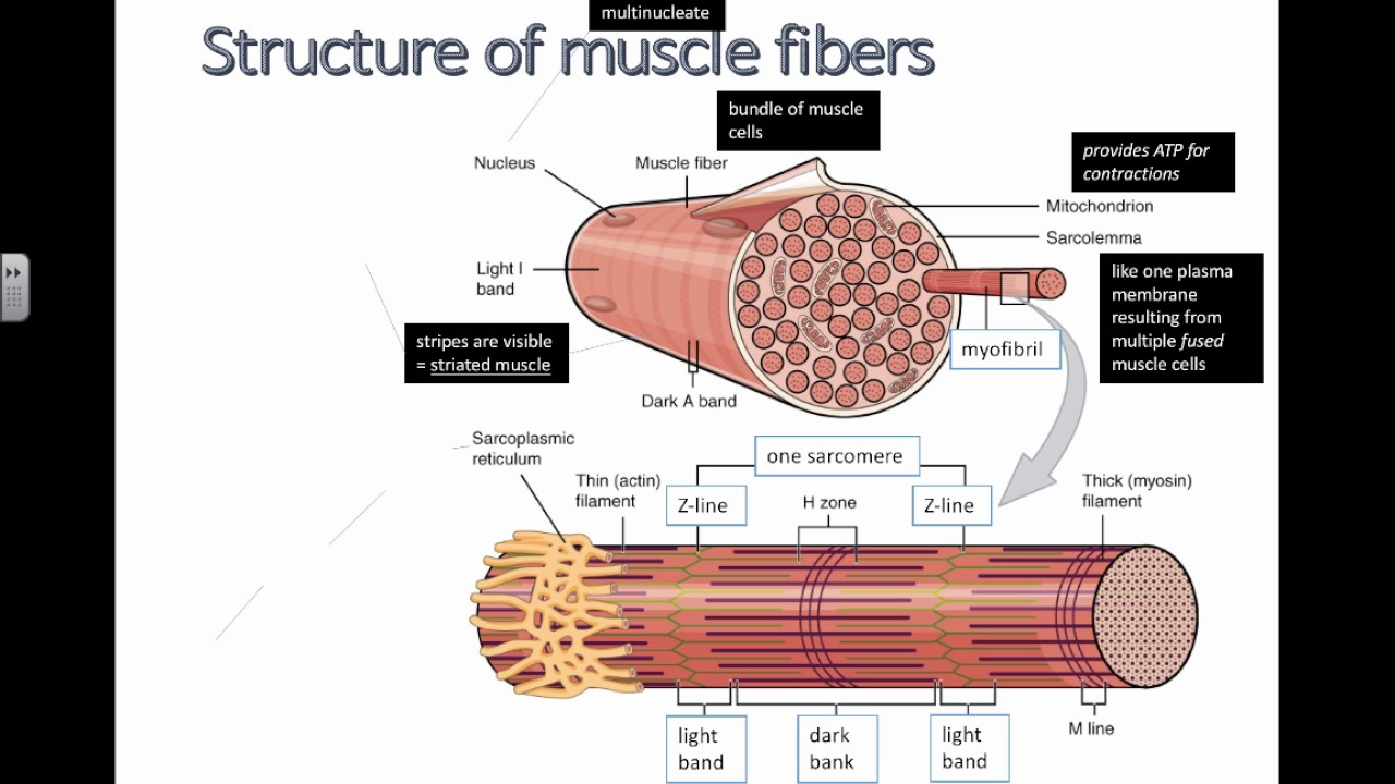 structure of muscle fibers (ib biology)