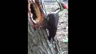 Video The World's Most fearless Woodpecker (I'm only 2 feet away for 22 minutes????) download MP3, 3GP, MP4, WEBM, AVI, FLV Oktober 2018