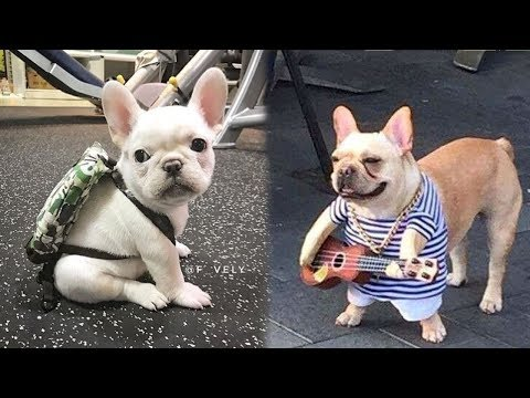 Funny and Cute French Bulldog Puppies Compilation #1 - Most Funny Dogs