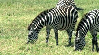 Африканское сафари [Кения, Танзания] -- часть 1