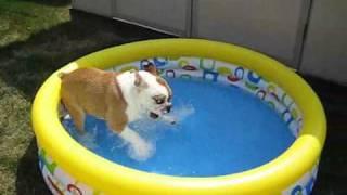 เจ้าบูลด็อก กับอาการดีใจที่ได้สระน้ำครั้งแรก