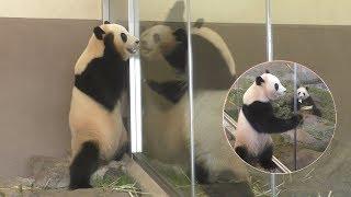 アドベンチャーワールドのお姉ちゃんパンダズ、桃浜(4歳)と結浜(2歳)です    ちょこっとずつ置いてあったおやつを食べきっていたおふたり✨し...