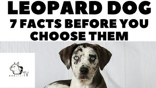 Before you buy a dog  LEOPARD DOG  7 facts to consider! DogCastTV