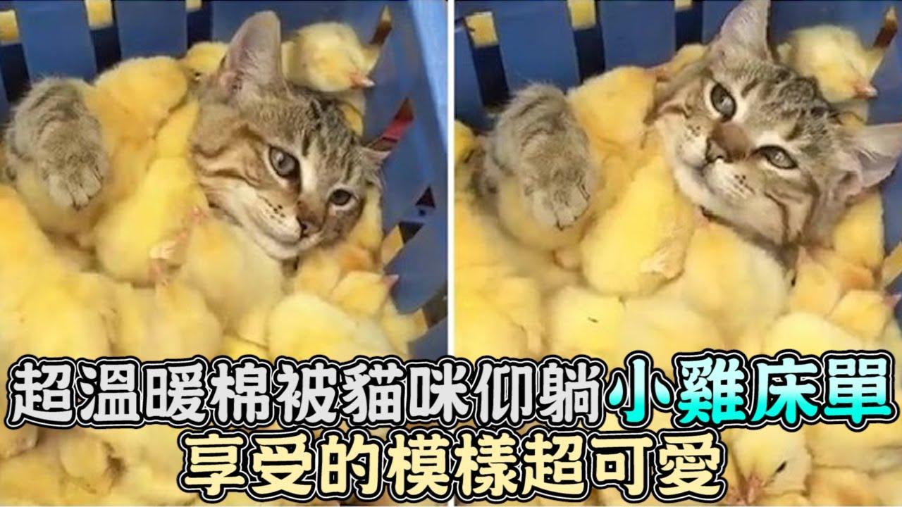 超溫暖棉被,貓咪仰躺小雞床單,享受的模樣超可愛
