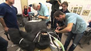 Medische ingrijp gorilla | Burgers' Zoo Natuurlijk | Arnhem