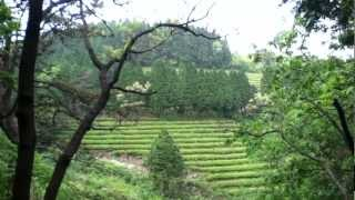 Boseong Tea Plantation - South Korea