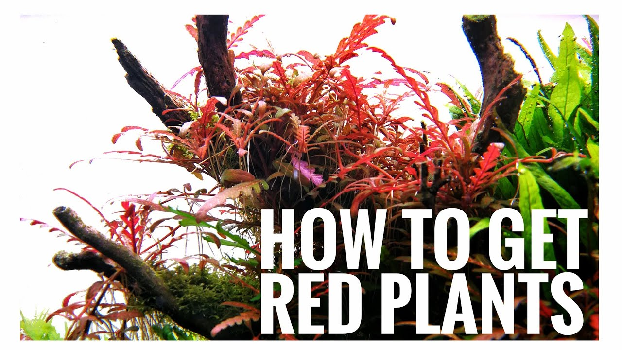 HOW TO GET RED PLANTS