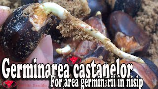 Germinate chestnuts - Force germination in sand