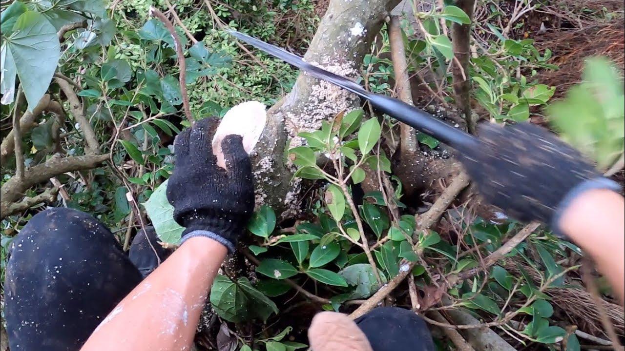 五右衛門風呂を覆う巨木を伐採しました。※3