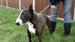 Chorlton  - English Bull Terrier Avaliable For Adoption