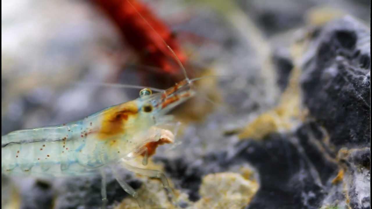 Shrimp heart pumping. Shrimp fight. - YouTube