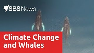 How climate change is affecting Antarctica's whale population