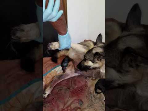 PuppyFinder.com : Dunn's German Shepherd puppies being born