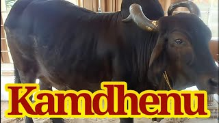 Kamdhenu cow 6th November near shankheswar