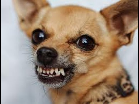 snarling chihuahua how to train an aggressive chihuahua puppy dog online 9647