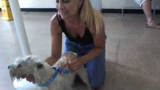 White Miniature Schnauzer Zoey Rescue: From Death Row To Diva!