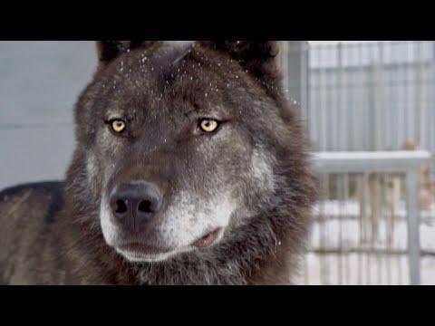 Впервые на Ямале канадский волк Акела, крупный волк, большой волк, человек и волк