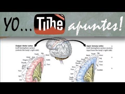 Fisiología del sistema nervioso. Motor. Ganglios basales (2) - YouTube