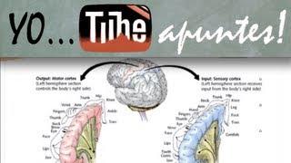 Fisiología del sistema nervioso. Motor. Ganglios basales (2)