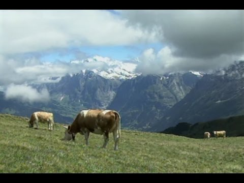 Mürren, Switzerland: Cow Culture