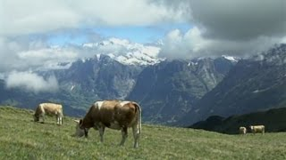Mürren, Switzerland: Cow Culture