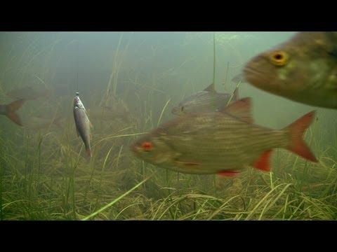 видео ловят на мертвую рыбку