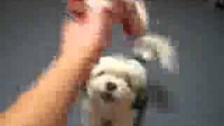 Chihuahua Schnauzer Mix