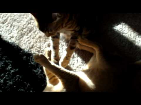 Bengal and Chausie Cat playfight in the sun
