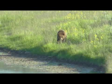 150702 Yellowstone Grizzly Bear