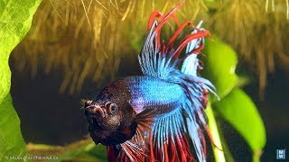 daily martial arts exercises with our fighting fish