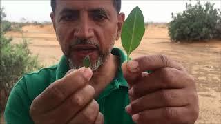 العوسج شجر الجن وشجر الغرقد Lycium shawi - Nitraria retusa