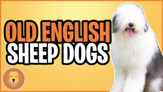 Old English Sheep Dog Breeds Top 10 Facts