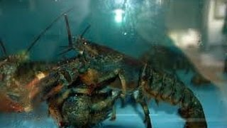 Hot Animal Sex Lobsters are trying to make love
