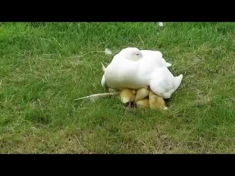 Vroege Vogels - Warboel onder moedereend